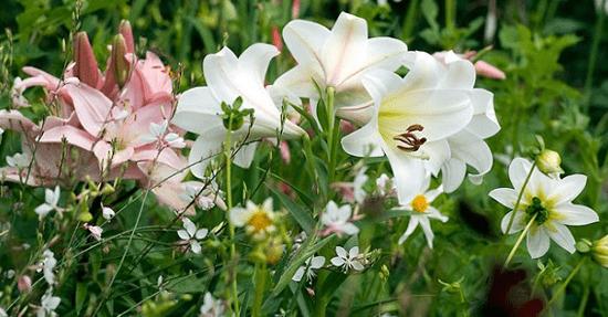 Lelie Is Zomerbol Van Het Jaar Tuinplanten En Bloemen Tuin