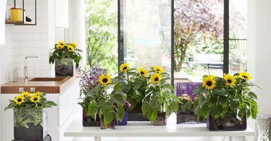 Zonnebloem: Woonplant van de maand juni